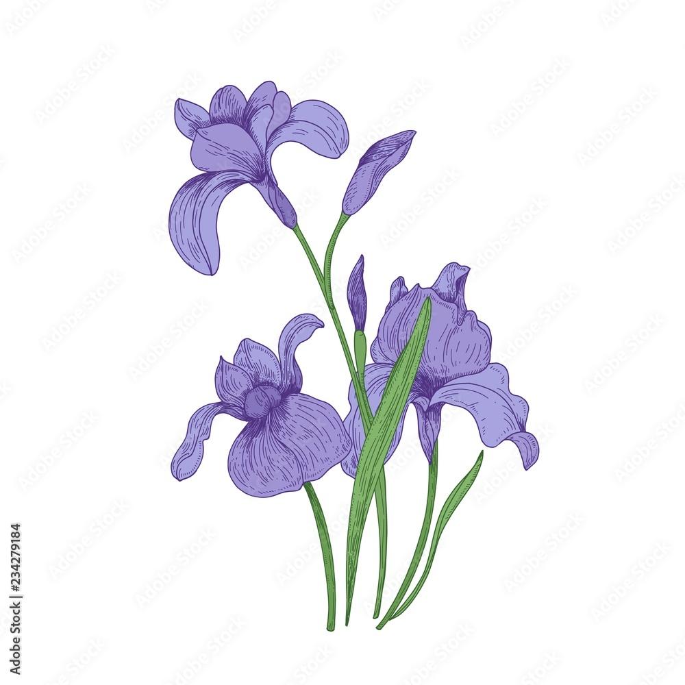 Fototapeta Detailed drawing of spring iris flowers and buds