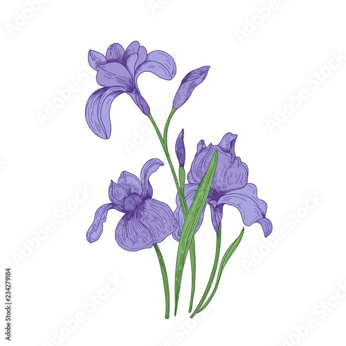 Fotografie, Obraz Detailed drawing of spring iris flowers and buds