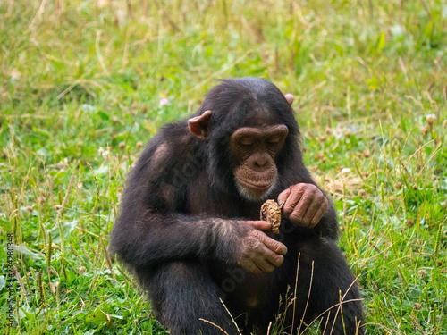 Foto op Aluminium Aap Chimpanzé