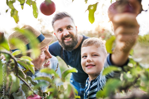 Small boy with father and grandfather picking apples in orchard in autumn Slika na platnu