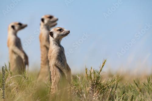 Fototapeta  erdmännchen passen auf und halten als familie zusammen ausschau