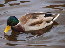 Wild Duck In The River
