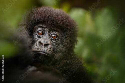 Photo  Wild mountain gorilla in the nature habitat