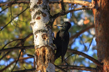 The Black Woodpecker (Dryocopus Martius) Is In The Park. The Feathery Woodcutter Hollows A Pine. Chips Fly Extensively. Be Protected, Wreckers!
