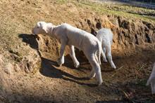 Newborn Lamb And Sheep Grazing