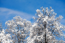 Snow Covered Treetops On Blue Sky Background. Beautiful Winter Weather Forest Landscape.