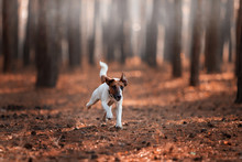 Charming Dog Fox Terrier Breed In The Autumn Forest