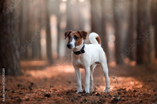 Fotografie, Obraz  Charming dog fox terrier breed in the autumn forest