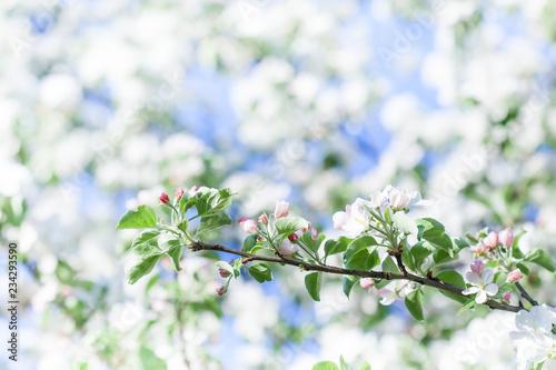Αφίσα  Apple tree flowers blossom macro view