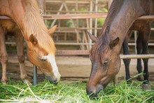 Horse Eating Grass. Horse Eating Hay (straw, Grass) In The Stable. Two Horses With Farm Animal Background.