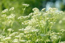 Anise Flower Field. Food And D...
