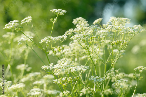 Photo Anise flower field. Food and drinks ingredient.