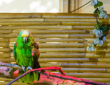 Green Vibrant Colored Yellow Naped Amazon Parrot Or Yellow Crowned Parrot A Endangered Species Because Of Deforestation