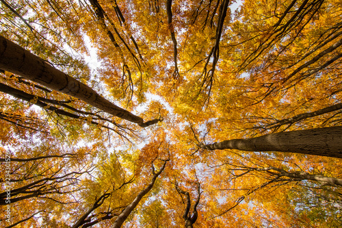 Looking up into colorful treetop. Vivid and amazing colors of nature during autumn season. Beautiful and very relaxing sight. Quiet and relax. Simply stunning walk through autumn foliage. © janstria
