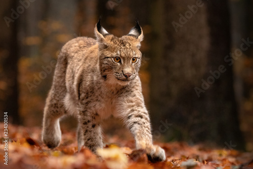 Poster Lynx Amazing cute young lynx cub in autumn wet forest. Beautiful, endangered animal species. Unusual sight. Lovely mammal. Rare sight, very precious, gorgeous animal.