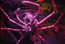 The Japanese Spider Crab In Wa...