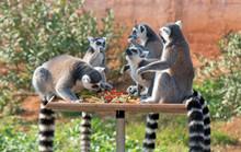 Ring-tailed Lemurs Having Lunc...