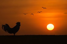 Silhouette Of Rooster Crowing Stand On Field In The Morning With Sunrise And Group Of Birds On Background.Concept For Early Morning Wake Up.