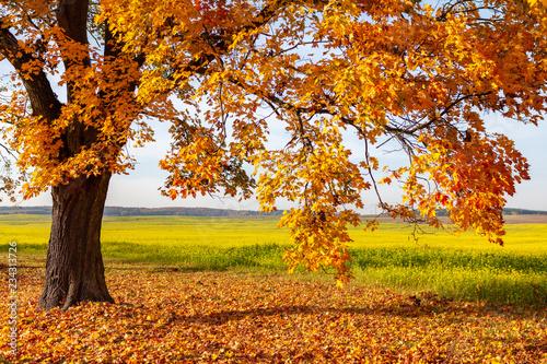 obraz lub plakat gold gelber baum im herbst vor einem blühenden rapsfeld