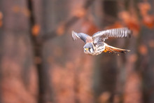American Kestrel Falco Sparverius Sat On A Branch In Fall Autumn In The Woodland Forest