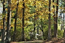 Colorful Hickory Tree (Carya T...