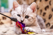 Kitten Playing With Feather Wa...