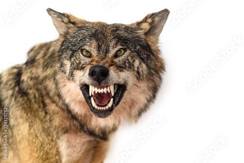 closeup portrait of a wolf