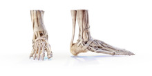 Human Foot Skeleton Bones Isolated On White, Lateral And Anterior Projection. Educational Anatomy Medical Illustration. 3D Illustration