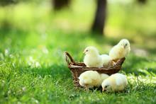 Little Chicks In Basket On Green Grass