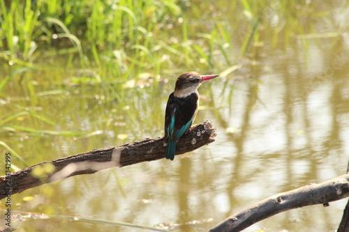 Fotobehang Vissen Kingfisher waiting on a branch