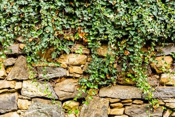 Fototapeta Struktura ściany The green ivy on a stone wall, a beautiful background