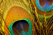 Macro Photo Of Colorful Peacoc...