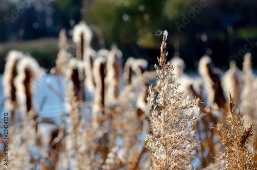 Fotografia, Obraz  Fluffy Tifa blooming in the swamp, wildlife