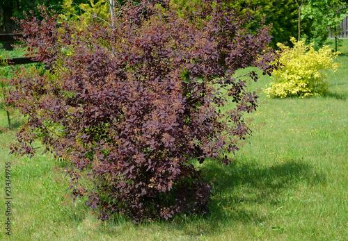 Photo Bush of the blossoming purple barberry of Tunberg (Berberis thunbergii DC