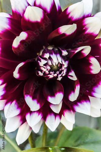 Fototapety, obrazy: Red and white flower