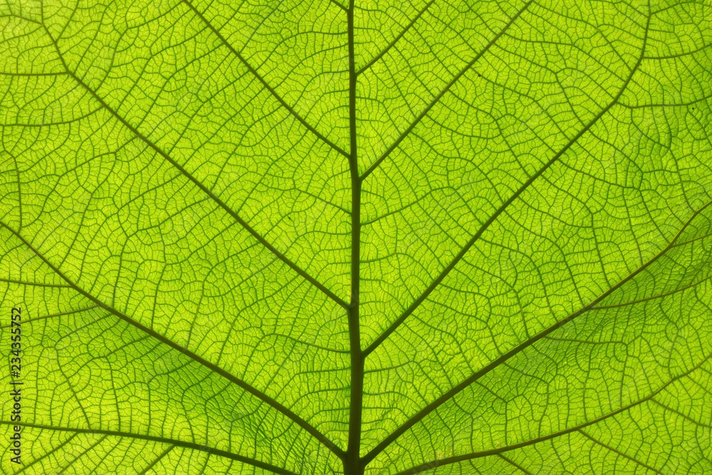Fototapety, obrazy: Extreme close up texture of green leaf veins