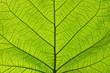 canvas print picture - Extreme close up texture of green leaf veins