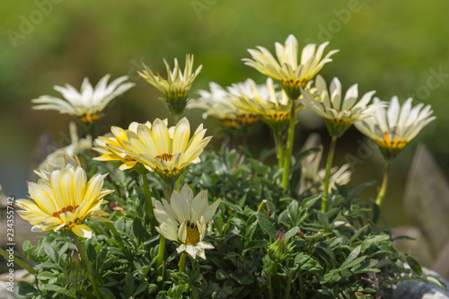 Montage in der Fensternische Blumenhändler Osteospermum Yellow