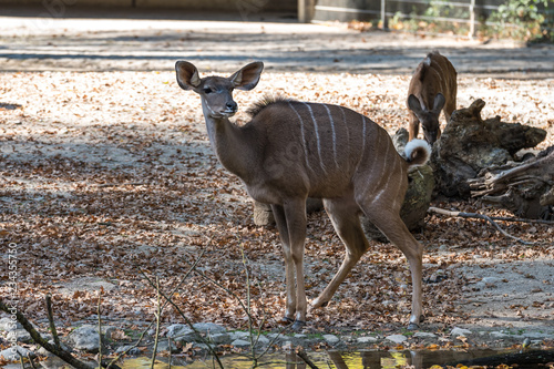Photo Kudu - Tragelaphus strepsiceros