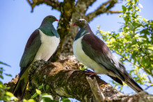 Two Wild Wood Pigeons, Or Kereru, Perch In A Native Tree In Canterbury, New Zealand