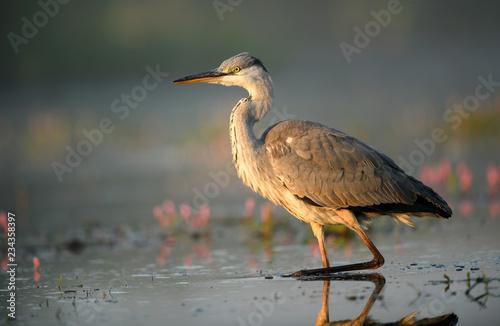 Photo Grey heron (Ardea cinerea)