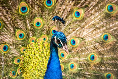 Fototapeta premium Kolorowa głowa pawia z jasnymi piórami w tle