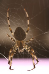 Spider patient waiting for some prey to fall on its spider web