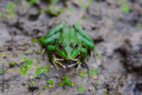 Tuinposter Kikker green frog in a swamp