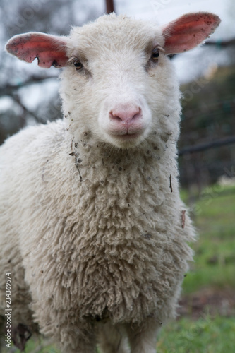 A sheep in the field