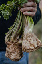 Person Holding Celery Root