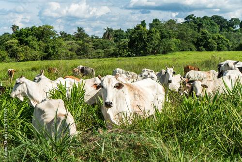 Fotografia cattle on pasture