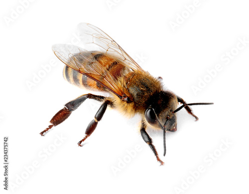 Canvastavla Beautiful honeybee on white background. Domesticated insect