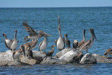 Sea Birds Perched On A Rock Jetty In St. Petersburg, Florida.