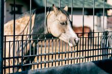 Sad Muzzle Of A Horse Behind A...